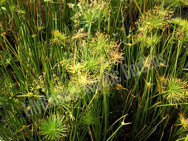 Dwarf Papyrus- Tropical Bog Plant