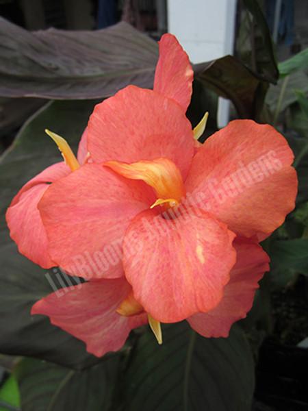 Dawn Pink- Tropical Bog Plant