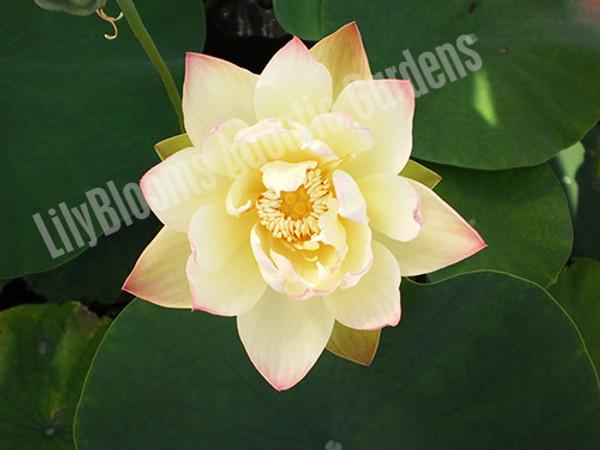 Green Maiden- Hardy Water Lotus