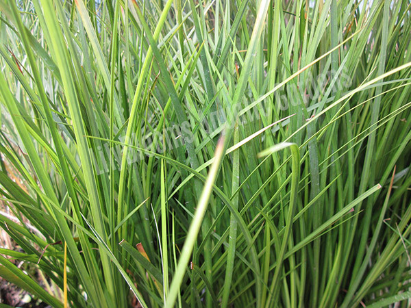 Golden Sweet Flag- Hardy Bog Plant