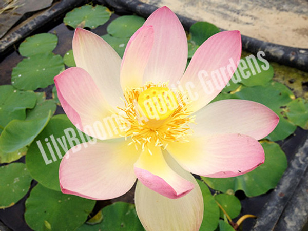 Beautiful Dancer- Pink Hardy Water Lotus