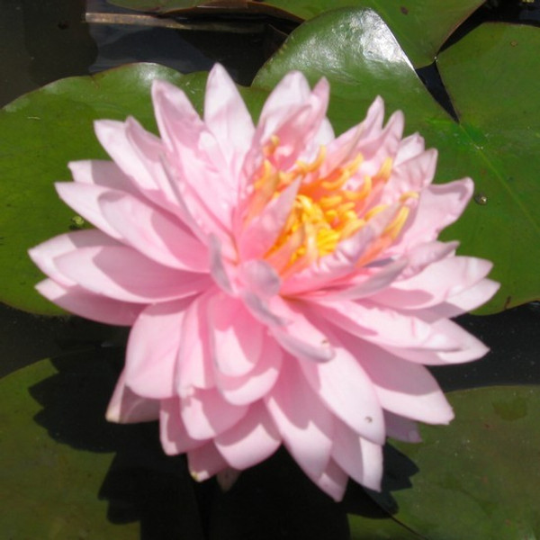 Lily Pons - Pink Hardy Water Lily