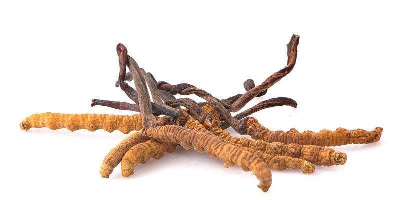 cordyceps01.jpg