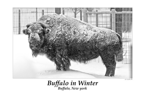 Buffalo In Winter- Framed