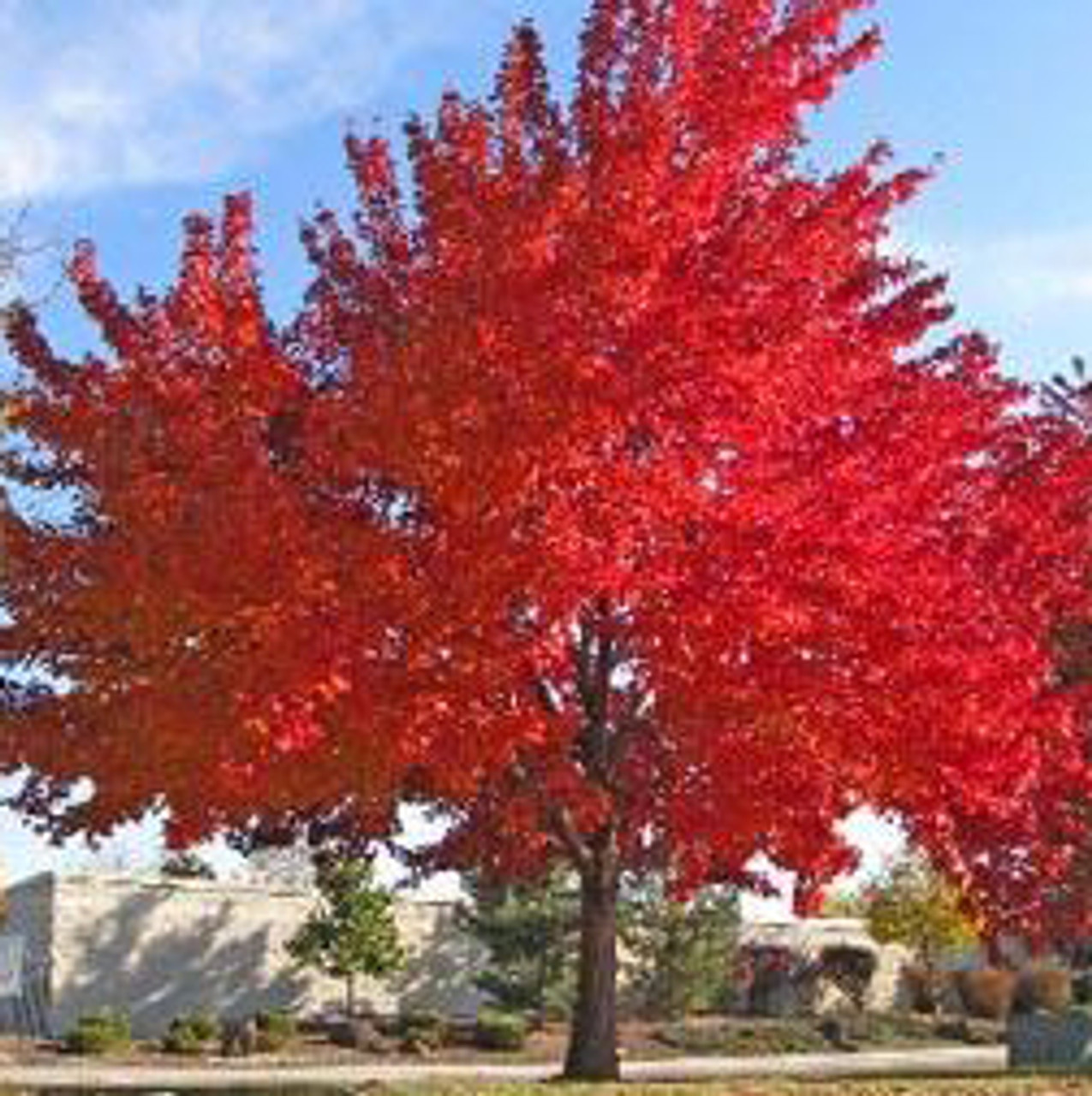 Red Maple Tree 3 Pack