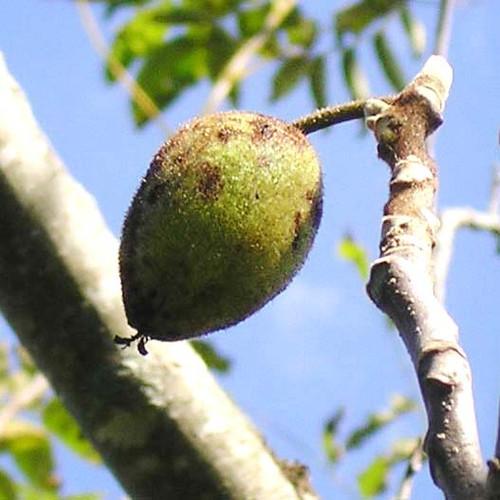 American Butternut Tree