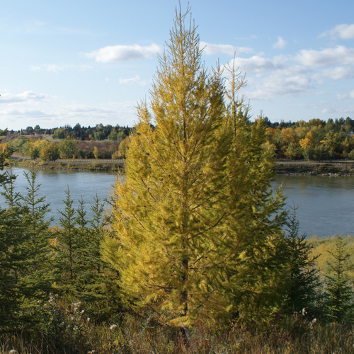 American Larch Tree