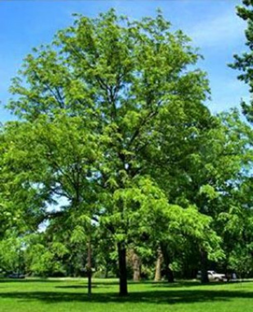 Black Walnut Tree (2 Pack)