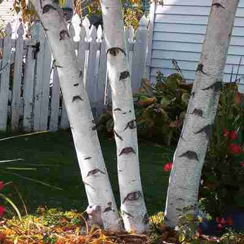 Paper White Birch Tree (3 Pack)