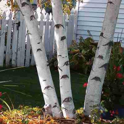 Paper White Birch Tree (3 Pack)