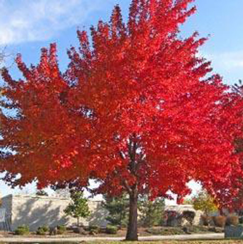 Red Maple Tree (2 Pack)