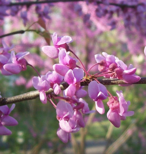 Redbud Tree (2 Pack)