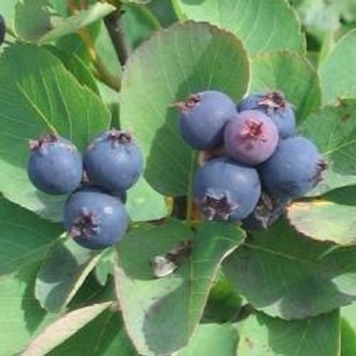 Saskatoon Serviceberry Tree