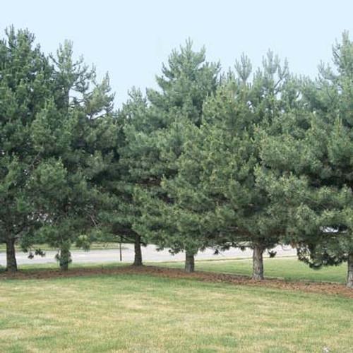 Scotch Pine Austrian Strain (2 Pack)