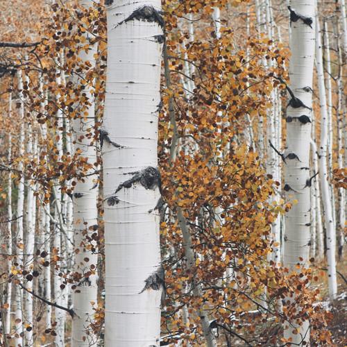 Paper White Birch Tree
