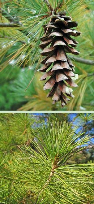 White Pine Tree (2 Pack)