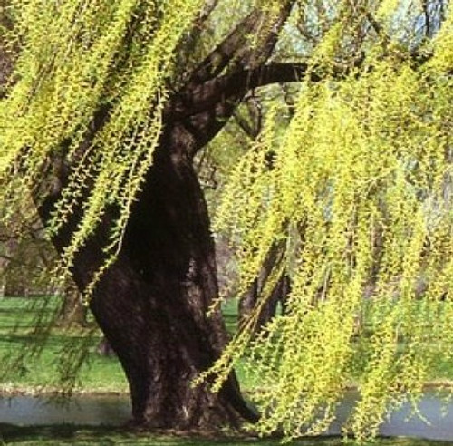 Golden Yellow Weeping Willow Tree
