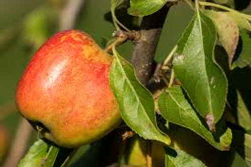 Domestic Apple Tree (Spring Only)