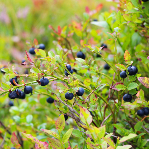 Bluecrop Blueberry Bush