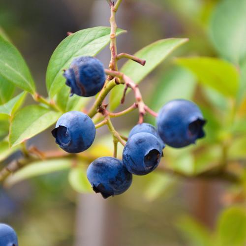 Blueray Blueberry Bush