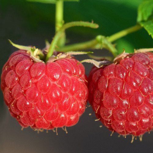 Mammoth Red Raspberry Bush