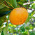 American Persimmon Tree (2 Pack)