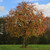 American Persimmon Tree (2 Pack)