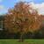 American Persimmon Tree