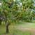 American Persimmon Tree (Jumbo)