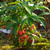 Coralberry, Indian Currant Bush