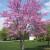 Redbud Tree (2 Pack)