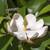 Sweetbay Magnolia Tree