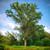 Eastern Cottonwood Tree