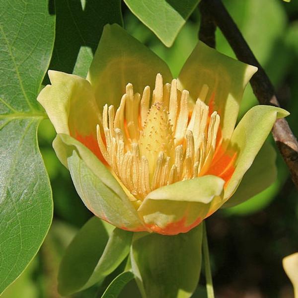 American Tulip Tree