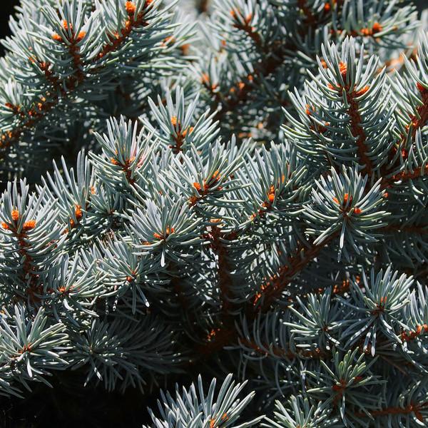 Colorado Blue Spruce Tree (Jumbo)