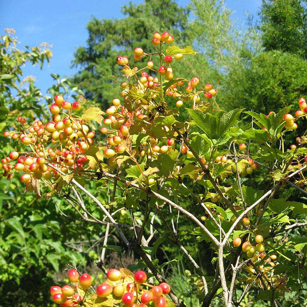 American Cranberry Bush