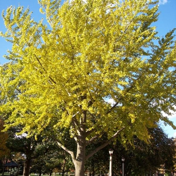 Ginkgo Tree (Fossil Tree)