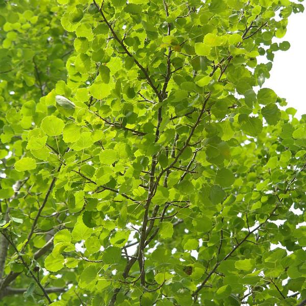 Hybrid Poplar Tree