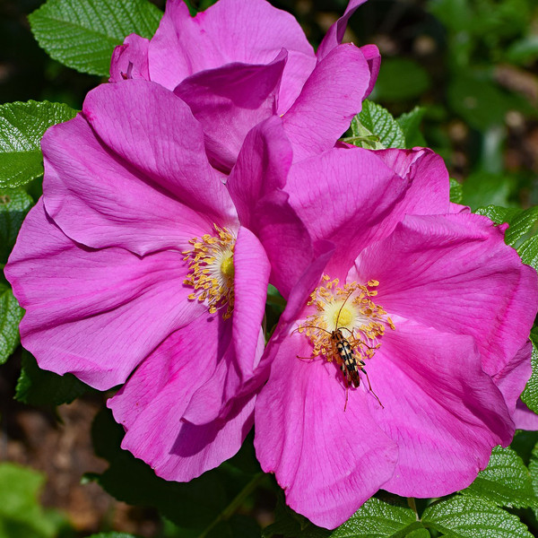 Japanese Rugosa Rose