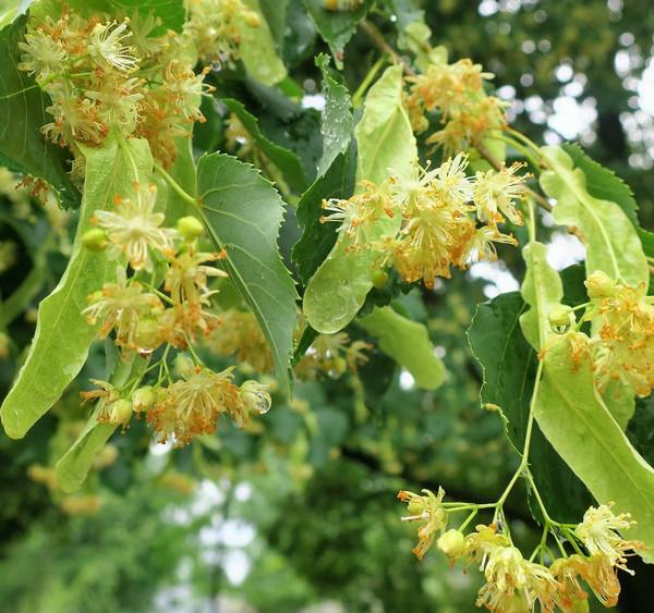 Littleleaf Linden Tree