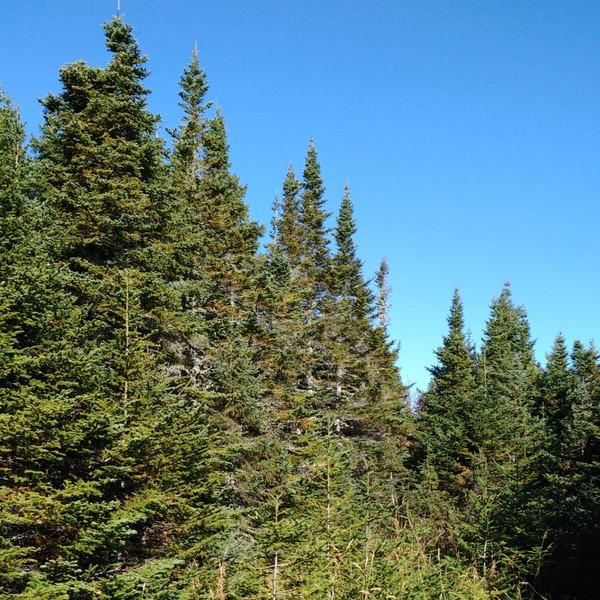 Norway Spruce Tree (Jumbo)