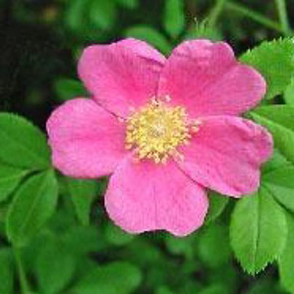 Wild Woods Rose