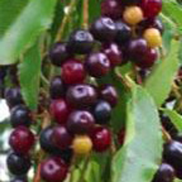 "Wild Black ""Rum"" Cherry Tree"