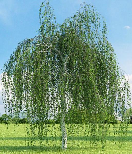 Weeping White Birch Tree