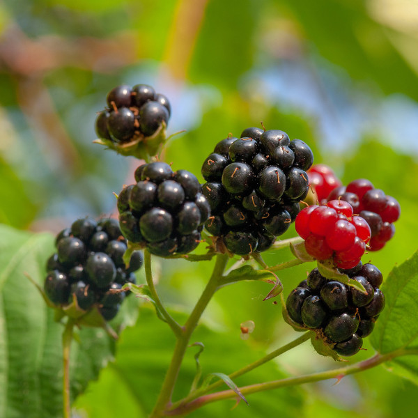 Jewel Black Raspberry Bush
