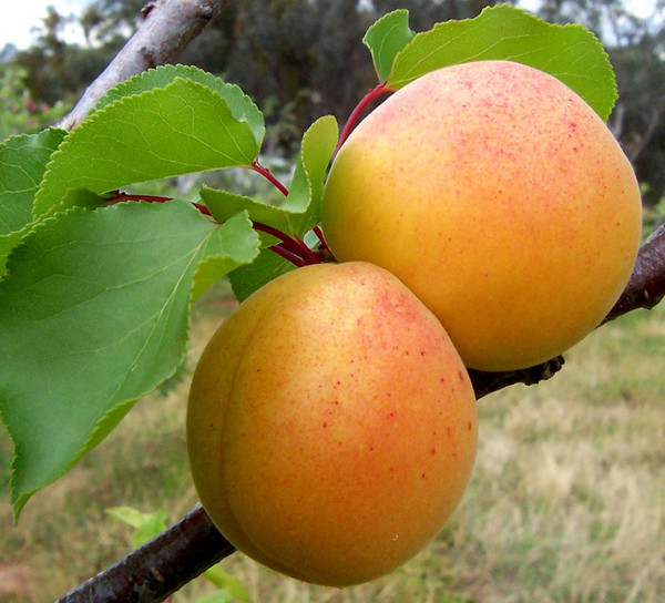 Hardy Apricot Tree (2 Pack)