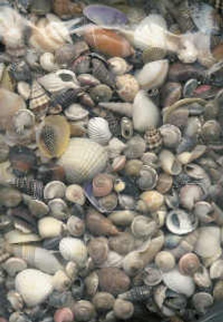 Bag of Mixed Small Seashells #3358A Large Pack!