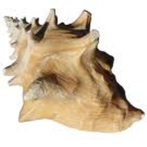 "Conch Shell Larger 9""-10"" Size #4350"