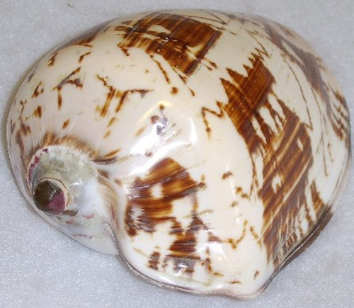 Polished Deluxe Voluta Nobilis Shell #6479