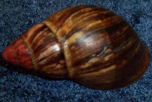 Uncommon Specimen Shell, Africa Volcano Sea Shell